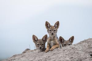 Black-backed jackal three cubs at the den, Masai-Mara Game Reserve, Kenya by Denis-Huot