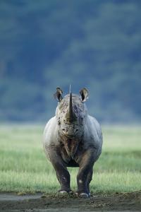 Black Rhino (Diceros Bicornis) Looking Threatening, Nakuru National Park, Kenya by Denis-Huot