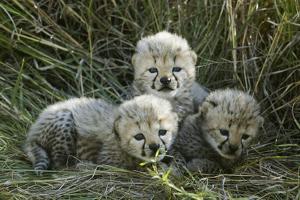 Cheetah (Acinonyx Jubatus) Cubs Aged 5 Weeks, Masai-Mara Game Reserve, Kenya. Vulnerable Species by Denis-Huot