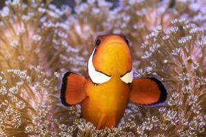 Clownfish (Amphiprion sp) in anemone home, Philippines by Denis-Huot