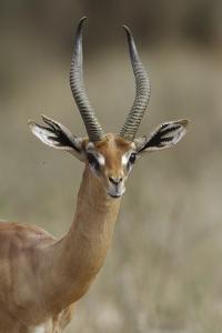 Gerenuk (Litocranius Walleri) Male Portrait, Samburu Game Reserve, Kenya by Denis-Huot