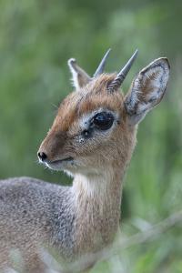 Kirk'S Dik-Dik (Madoqua Kirkii) Nakuru National Park, Kenya by Denis-Huot