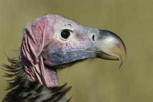 Lappet-Faced Vulture (Torgos Tracheliotus) Profile, Masai-Mara Game Reserve, Kenya by Denis-Huot