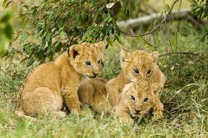 Lion (Panthera Leo) Cubs Playing, Masai Mara Game Reserve, Kenya by Denis-Huot