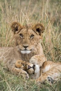 Lion (Panthera leo) cubs resting, Masai-Mara Game Reserve, Kenya by Denis-Huot