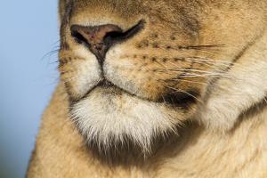 Lion (Panthera Leo) Female Close Up Of Nose An Chin, Masai Mara Game Reserve, Kenya by Denis-Huot