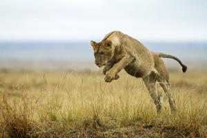 Lion (Panthera Leo) Female Jumping - Hunting, Masai Mara Game Reserve, Kenya by Denis-Huot