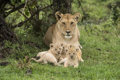 Lion (Panthera leo), female with three cubs age 6 weeks, Masai-Mara Game Reserve, Kenya