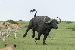 Lion (Panthera leo), females hunting buffalo, Masai-Mara Game Reserve, Kenya by Denis-Huot
