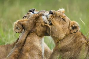 Lionesses (Panthera Leo) Grooming Each Other, Masai-Mara Game Reserve, Kenya by Denis-Huot