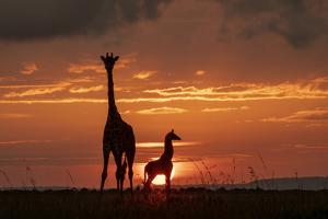 Masai giraffe, female and calf at sunset, with Abdim's storks, Masai-Mara, Kenya by Denis-Huot
