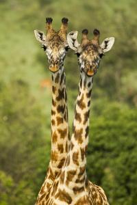 Masai Giraffe (Giraffa Camelopardalis Tippelskirchi) Masai Mara Game Reserve, Kenya by Denis-Huot