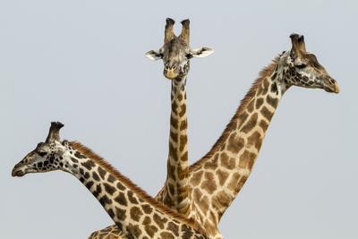 Masai Giraffes (Giraffa Camelopardalis Tippelskirchi) Group Of Three