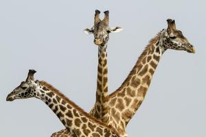 Masai Giraffes (Giraffa Camelopardalis Tippelskirchi) Group Of Three by Denis-Huot
