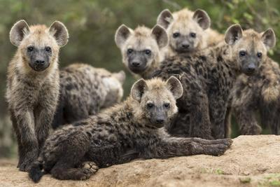 Spotted hyena (Crocuta crocuta), cubs together by den, Masai-Mara Game Reserve, Kenya