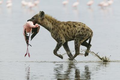 Spotted Hyena (Crocuta Crocuta) With Lesser Flamingo (Phoenicopterus Minor) It Has Just Caught