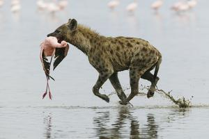 Spotted Hyena (Crocuta Crocuta) With Lesser Flamingo (Phoenicopterus Minor) It Has Just Caught by Denis-Huot