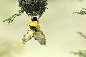Village weaver (Ploceus cucullatus) male bird building nest, Masai-Mara Game Reserve, Kenya by Denis-Huot