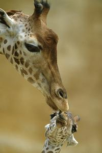 West African - Niger Giraffe (Giraffa Camelopardalis Peralta) Mother And Baby by Denis-Huot