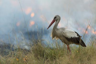 White Stork (Ciconia Ciconia) Hunting and Feeding at the Edge of a Bushfire