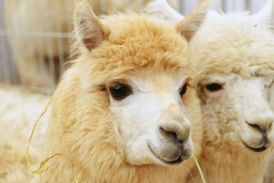 Two Fluffy Alpacas by Denis Tabler
