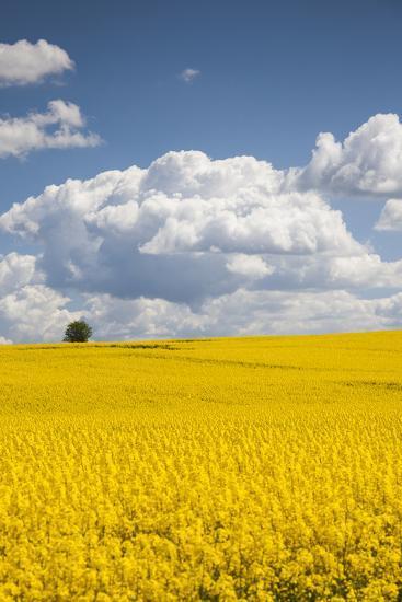 Denmark, Jutland, Odum, Rapeseed Field, Springtime-Walter Bibikow-Photographic Print