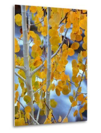 Autumn Leaves on Aspen Tree in the Sierra Nevada Range, Bishop, California, Usa