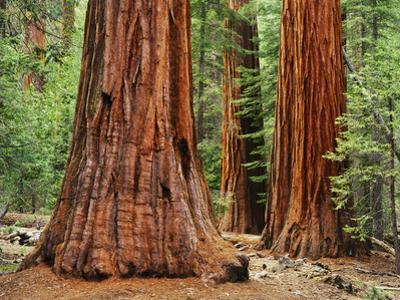 Close-Up of Sequoia Trees in Forest, Yosemite National Park, California, Usa