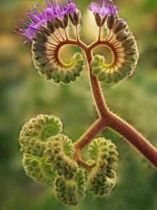 Detail of Phacelia Plant in Bloom, Death Valley National Park, California, USA by Dennis Flaherty