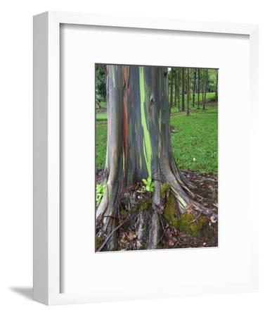 Eucalyptus Tree Bark, Kauai, Hawaii, USA