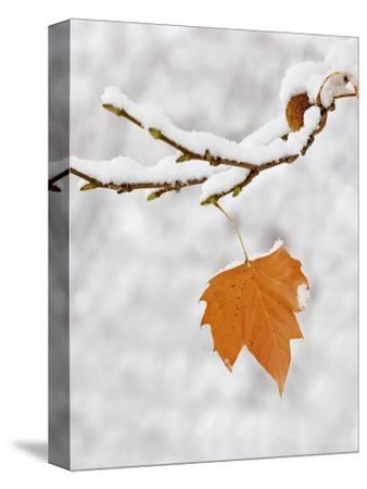 Lone Leaf Clings to a Snow-Covered Sycamore Tree Branch