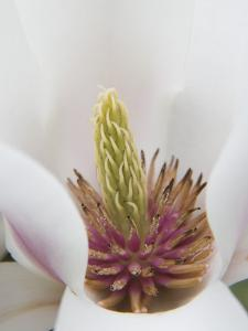 Magnolia Tree Flower Close-up in the Japanese Gardens at the Washington Park Arboretum, Seattle by Dennis Flaherty