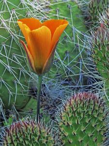 Mariposa Tulip Amid Grizzly Bear Cacti, Death Valley National Park, California, USA by Dennis Flaherty