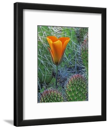 Mariposa Tulip Amid Grizzly Bear Cacti, Death Valley National Park, California, USA