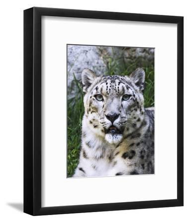 Portrait of Snow Leopard at the Sacramento Zoo, Sacramento, California, USA