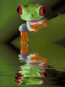 Reflection of Red-Eyed Tree Frog in Water by Dennis Flaherty