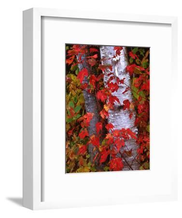 Trees in Autumn, White Mountains, New Hampshire, USA