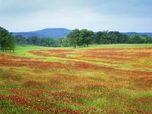 USA, Arkansas. Blooming Scarlet Clover in Boston Mountains by Dennis Flaherty
