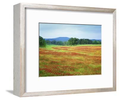 USA, Arkansas. Blooming Scarlet Clover in Boston Mountains