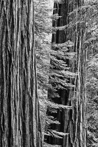 USA, California, Yosemite NP. Sequoia Trees in the Mariposa Grove by Dennis Flaherty
