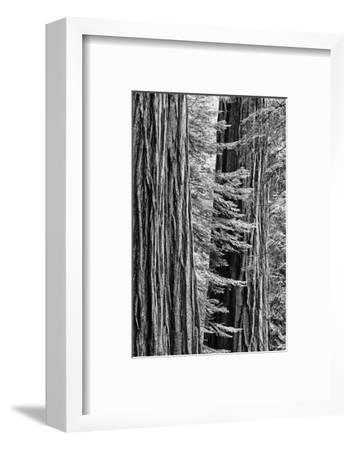 USA, California, Yosemite NP. Sequoia Trees in the Mariposa Grove