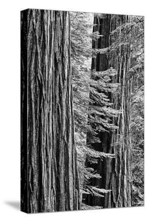 USA, California, Yosemite NP. Sequoia Trees in the Mariposa Grove