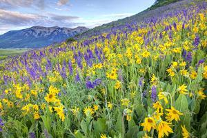 USA, Colorado, Crested Butte. Landscape of wildflowers on hillside. by Dennis Flaherty