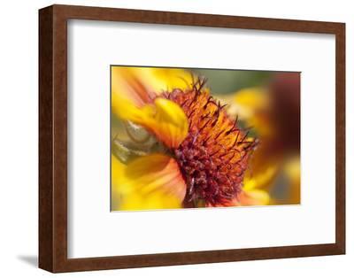 USA, Washington State, Palouse. Close-up of a Sunflower
