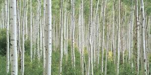 Early Autumn Aspens by Dennis Frates