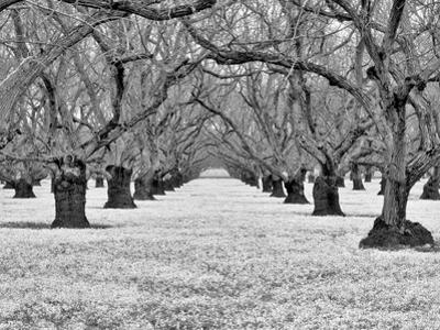 Old Walnut Orchard by Dennis Frates