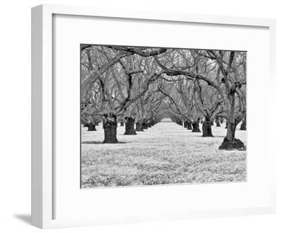 Old Walnut Orchard