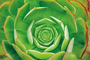 Red Trim Succulent II by Dennis Frates