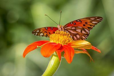Dennis Goodman Butterfly