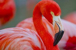 Flamingo by Dennis Goodman